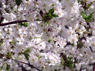 картинки деревья в цвету